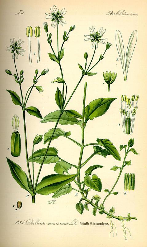 """Vogelmiere/Stellaria nemorum T(afel aus  """"Flora von Deutschland Österreich und der Schweiz"""" von Otto Wilhelm Thomé von 1885)   Quelle: www.BioLib.de"""