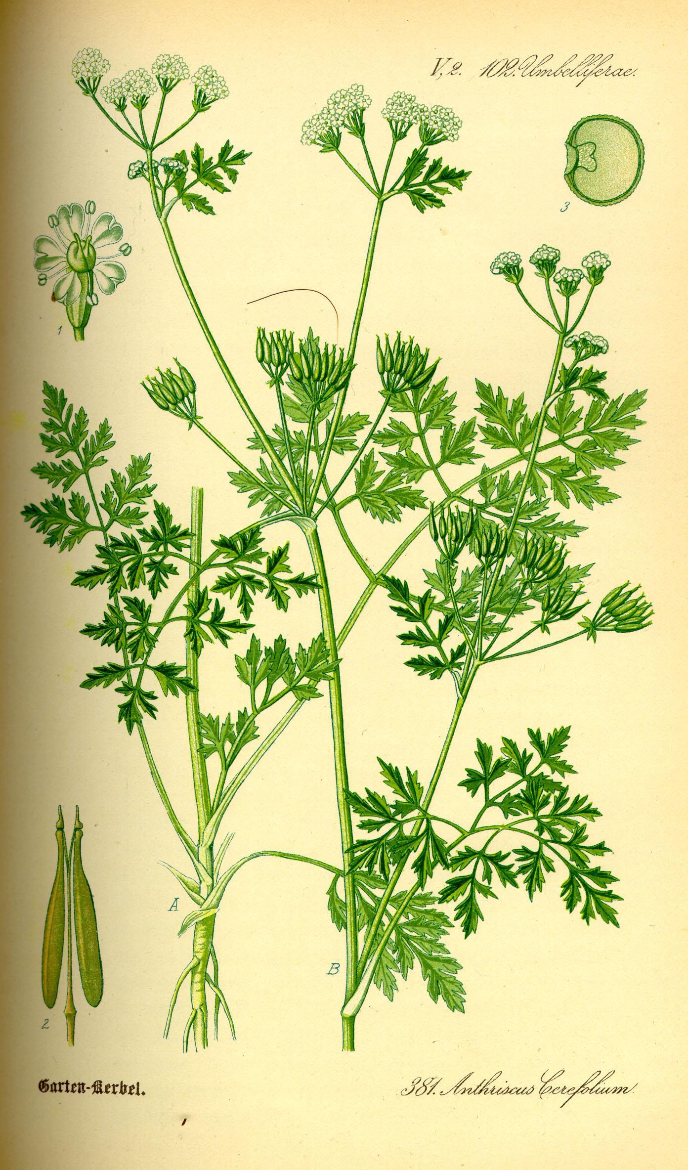 Echter Kerbel  Prof. Dr. Otto Wilhelm Thomé Flora von Deutschland, Österreich und der Schweiz 1885, Gera, Germany  (Quelle: Wikipedia)