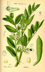 Ackerbohne (aus: Flora von Deutschland, Österreich und der Schweiz; O.W.Thomé; 1885 Quelle: BioLib.de)