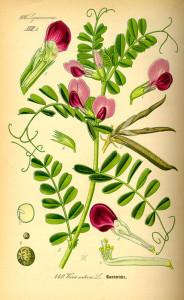 Futterwicke (aus: Flora von Deutschland, Österreich und der Schweiz; 1885; O.W.Thomé; QUelle: BioLib.de)