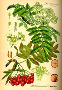 """Eberesche (aus: """"Flora von Deutschland, Österreich und der Schweiz""""; 1885; O.W.Thomé; Quelle: BioLib.de)"""