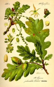 """Stieleiche (aus: """"Flora von Deutschland, Österreich und der Schweiz""""; O.W.Thomé; 1885; Quelle: BioLib.de)"""