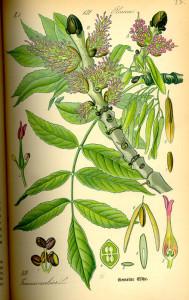 Hohe Esche (aus: Flora von Deutschland, Österreich und der Schweiz; 1885; O.W.Thomé; Quelle: BioLib.de)