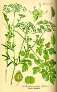 """Petersilie (aus: """"Flora von Deutschland, Österreich und der Schweiz""""; 1885; O.W.Thomé; Quelle: BioLib.de)"""