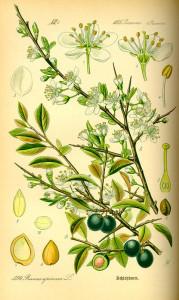 Schlehdorn (aus: Flora von Deutschland, Österreich und der Schweiz; 1885; O.W.Thomé; Quelle: BioLib.de)