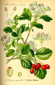 Weißdorn (aus: Flora von Deutschland, Österreich und der Schweiz; 1885; O.W.Thomé; Quelle: BioLib.de)