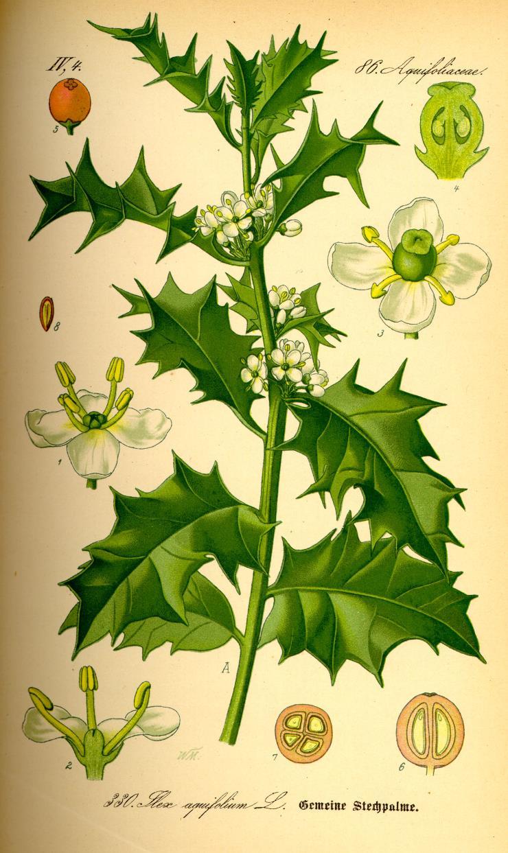 """Europäische Stechpalme  Prof. Dr. Otto Wilhelm Thomé - """"Flora von Deutschland, Österreich und der Schweiz"""" 1885, Gera (Quelle: Wikipedia)"""