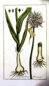"""Porree (aus: """"Afbeeldingen der artseny-gewassen...""""; 1800; J.C.Krauss Quelle: BioLib.de)"""