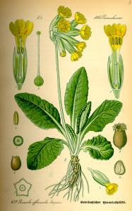 """Primel (aus: """"Flora von Deutschland, Österreich und der Schweiz""""; O.W.Thomé; 1885; Quelle: BioLib.de)"""