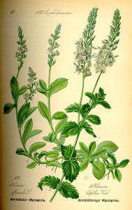 Ehrenpreis (Veronica) (aus: Flora von Deutschland, Österreich und der Schweiz; 1885; O.W.Thomé; Quelle: BioLib.de)