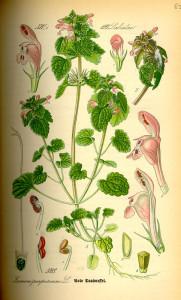 """Purpurrote Taubnessel (aus """"Flora von Deutschland, Österreich und der Schweiz""""; O.W.Thomé; 1885; Quelle: BioLib.de)"""
