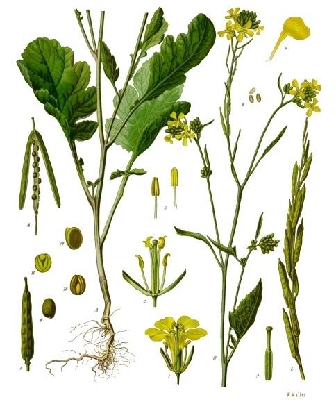 Franz Eugen Köhler, Köhler's Medizinal-Pflanzen (1897) Quelle: Wikimedia