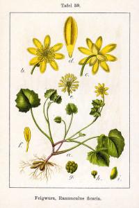 """Scharbockskraut (Tafel aus: """"Deutschlands Flora in Abbildungen""""; J.Sturm; 1796; Quelle: BioLib.de]"""