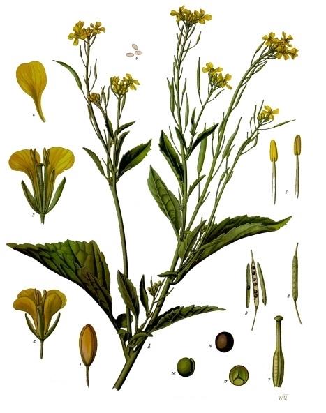 Schwarzer Senf Franz Eugen Köhler, Köhler's Medizinal-Pflanzen (1897) Quelle: Wikimedia