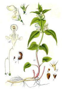 """Weiße Taubnessel (aus """"Deutschlands Flora in Abbildungen""""; J. Sturm; 1796; Quelle: BioLib.de)"""