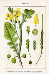 Acker-Rettich (Tafel aus: Deutschlands Flora in Abbildungen; J. Sturm; 1796; Quelle: BioLib.de)
