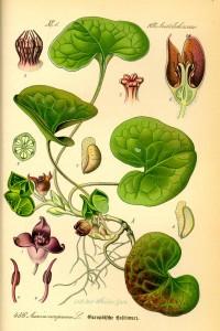 Asarum europaeum - Prof. Dr. Otto Wilhelm Thomé Flora von Deutschland, Österreich und der Schweiz 1885, Gera (Quelle: Wikipedia)