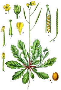 """Mauer-Senf (aus """"Deutschlands Flora in Abbildungen""""; J. Sturm; 1796; Quelle: BioLib.de)"""