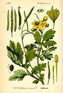 """Schöllkraut (Tafel aus: """"Flora von Deutschland, Österreich und der Schweiz""""; O.W.Thomè; 1885; Quelle: BioLib.de)"""