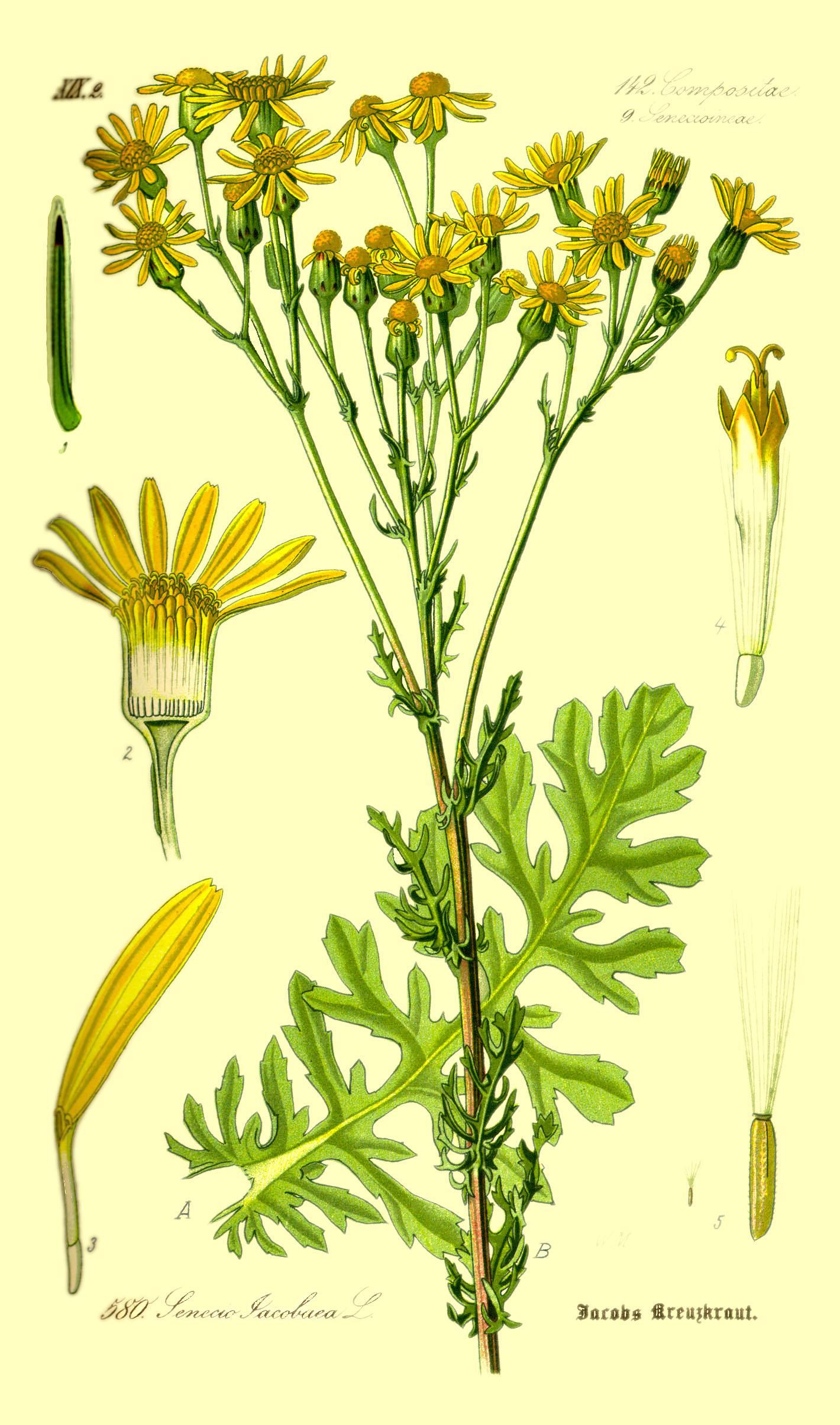 Jakobs-Kreuzkraut - Senecio jacobaea Prof. Dr. Otto Wilhelm Thomé Flora von Deutschland, Österreich und der Schweiz 1885 (Quelle: Wikipedia)