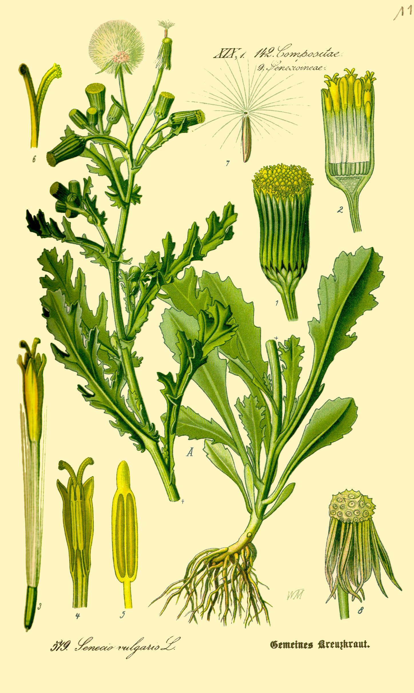 Gemeines Greiskraut - Senecio vulgaris Prof. Dr. Otto Wilhelm Thomé Flora von Deutschland, Österreich und der Schweiz 1885 (Quelle: Wikipedia)
