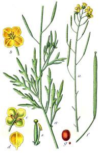 """Wilde Rauke (aus """"Deutschlands Flora in Abbildungen""""; J. Sturm; 1796; Quelle: BioLib.de)"""