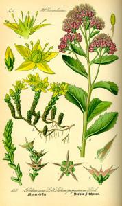 """links: Scharfer Mauerpfeffer (Tafel aus """"Flora von Deutschland, Österreich und der Schweiz""""; 1885; O.W.Thomé; Quelle: BioLib.de)"""