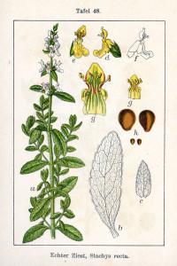 """Aufrechter Ziest (Tafel aus """"Deutschlands Flora in Abbildungen""""; J.G.Sturm; 1796; Quelle: BioLib.de)"""