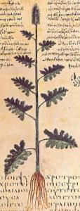 Heil-Ziest (Kestron) (Tafel aus dem Wiener Dioskourides; 6. Jhdt.; Quelle: Wikipedia)