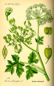 """Wiesen-Bärenklau (Tafel aus: """"Flora von Deutschland, Österreich und der Schweiz""""; O.W.Thomé; 1885; Quelle: BioLib.de)"""