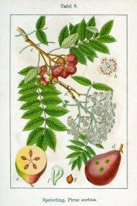 """Speierling (Tafel aus """"Deutschlands Flora in Abbildungen""""; 1796; J.G.Sturm, Grafiken von J.Sturm; Quelle: BioLib.de)"""