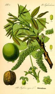 """Walnuß (Tafel aus: """"Flora von Deutschland, Österreich und der Schweiz""""; 1885; O.W.Thomé; Quelle: BioLib.de)"""