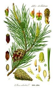 Pinus sylvestris, Prof. Dr. Otto Wilhelm Thomé Flora von Deutschland, Österreich und der Schweiz 1885, Gera (Quelle, Wikipedia)