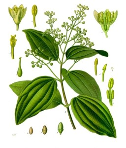 "Ceylon-Zimtbaum (Tafel aus: ""Köhler's Medizinal-Pflanzen""; 1897: F.E.Köhler; Quelle: Wikimedia)"