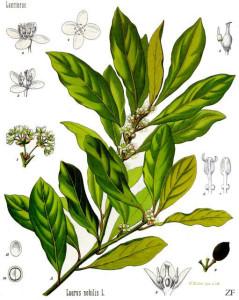 "Echter Lorbeer (Tafel aus: ""Köhlers Medizinal-Pflanzen""; 1897; F.E.Köhler; Quelle: Wikipedia)"