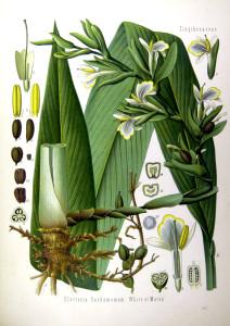 Grüner Kardamom (Tafel aus: Köhlers Medizinal-Pflanzen; 1887; F.E.Köhler; Quelle: BioLib.de)