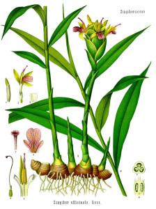 "Ingwer (Tafel aus ""Köhlers Medizinal-Pflanzen""; 1883; F.E.Köhler; Quelle: BioLib.de)"