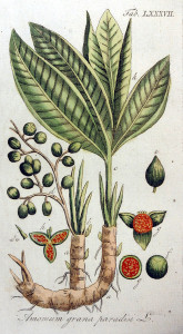 "Melegueta-Pfeffer (Tafel aus ""Vervolg op de Afbeeldingen der Artsenij-gewassen..""; 1813; Adolphus Ypey; Quelle: BioLib.de)"