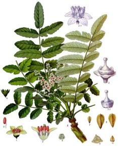 """Weihrauchbaum (Tafel aus: """"Köhlers Medizinal-Pflanzen; 1897; F.E.Köhler; Quelle: Wikipedia)"""