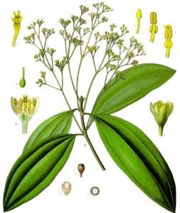 "Zimtkassie (Tafel aus ""Köhler's Medizinal-Pflanzen""; 1897; F.E.Köhler; Quelle: Wikimedia)"