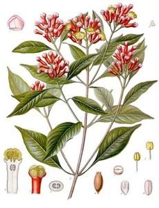 "Gewürznelken (Tafel aus: ""Köhlers Medizinal-Pflanzen"";1897; F.E.Köhler; Quelle: Wikipedia)"