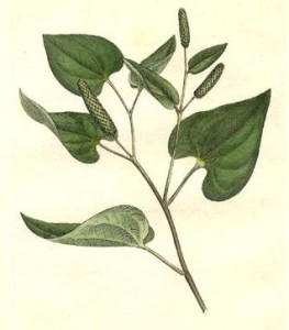 Langer Pfeffer (Tafel aus: Medical Botany; 1793; W.Woodville; Quelle: Wikipedia)