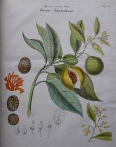 """Muskatnußbaum (Tafel aus: """"Merkantilische Waarenkunde oder Naturgeschichte der vorzüglichsten Handelsartikel""""; 1831; J.C.Zenker; Quelle: Wikimedia)"""