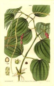 Schwarzer Pfeffer (Tafel aus: Curtis's Botanical Magazine; 1832; Quelle: Wikipedia)
