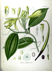 """Vanille (Tafel aus: """"Köhlers Medizinal-Pflanzen""""; 1887; F.E.Köhler; Quelle: BioLib.de)"""