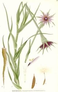 """Haferwurzel (Tafel aus """"Bilder ur Nordens Flora""""; 1917-1926; C.A.M.Lindman; Quelle: fr.wikipedia.org)"""