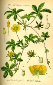 """Kriechendes Fingerkraut (Tafel aus: """"Flora von Deutschland, Österreich und der Schweiz""""; 1885; O.W.Thomé; Quelle: BioLib.de)"""