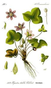 """Leberblümchen (Tafel aus: """"Flora von Deutschland, Österreich und der Schweiz""""; 1885; O.W.Thomé; Quelle: BioLib.de)"""