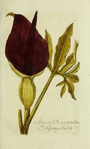 """Gemeine Drachenwurz (Tafel aus """"Plantarum indigenarum et exoticarum...""""; 1792; Lukas Hochenleitter und Kompagnie; Quelle: Wikimedia)"""
