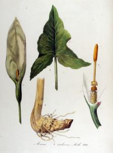 """Italienischer Aronstab (Tafel von C. Sepp in """"Flora Batava of Afbeeldingen en Beschrijving van Nederlandsche Gewassen""""; 1869; Jan Kops; Quelle: Wikimedia)"""
